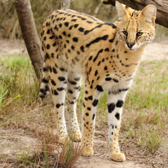 Serval Cat For Sale Tn